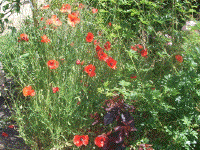 Poppies at Les Coquelicots