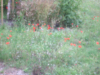 More poppies at Les Coquelicots